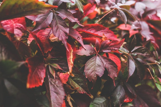 Red autumn leaves II