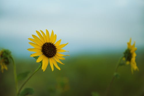 Blooming sunflowers growing on meadow in countryside