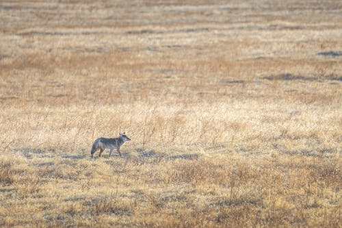 Lonely coyote walking along endless dry grassy meadow on sunny autumn day in countryside
