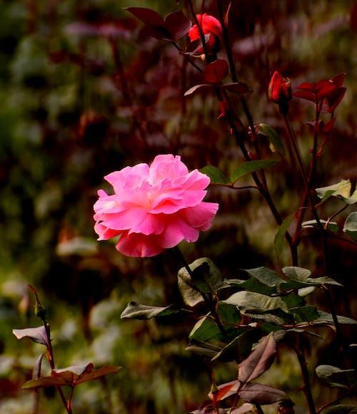 Free stock photo of garden roses, pink rose