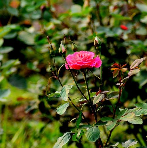 Free stock photo of garden roses, pink rose, red rose