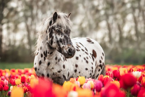 White Horse with Spots on Tulip Field