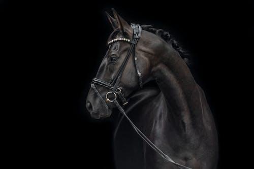 Free stock photo of black, dressage, horse