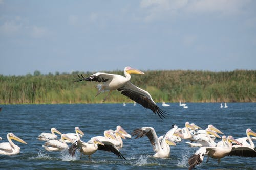 Great White Pelicans in the River