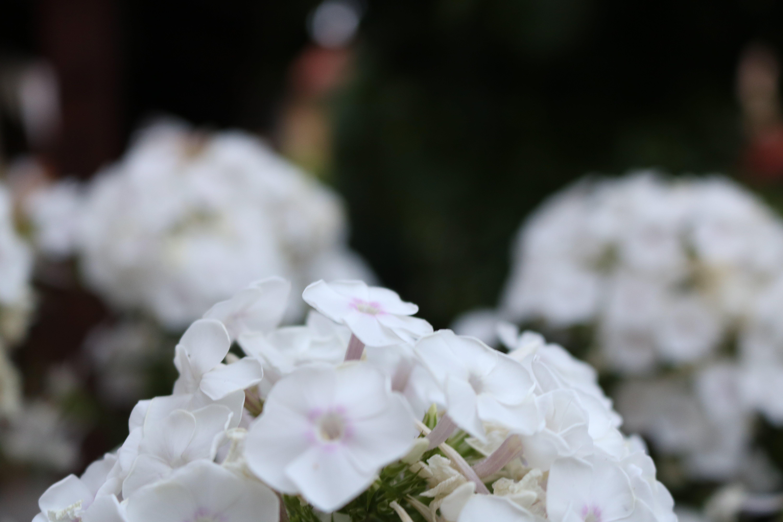 Free stock photo of beautiful, black&white, flower, garden