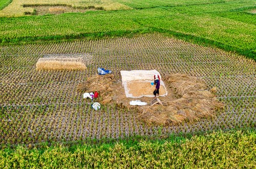 Drone view of farmers collecting harvest of wheat growing in agricultural plantation in farmland