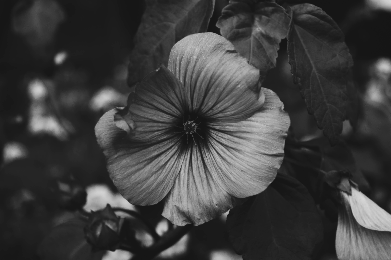 Free stock photo of black and white, flower, garden, mallow