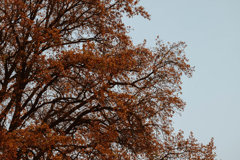 Dried Leaf Tree