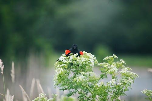 Základová fotografie zdarma na téma červené křídlo černý pták, divoký, keř, květiny