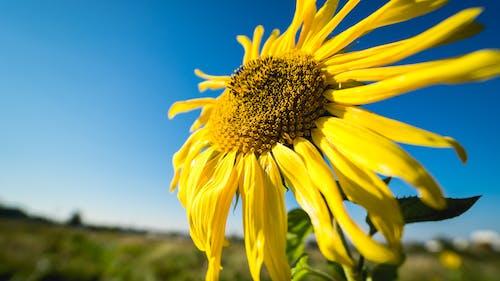向日葵, 天, 太陽, 廠 的 免費圖庫相片
