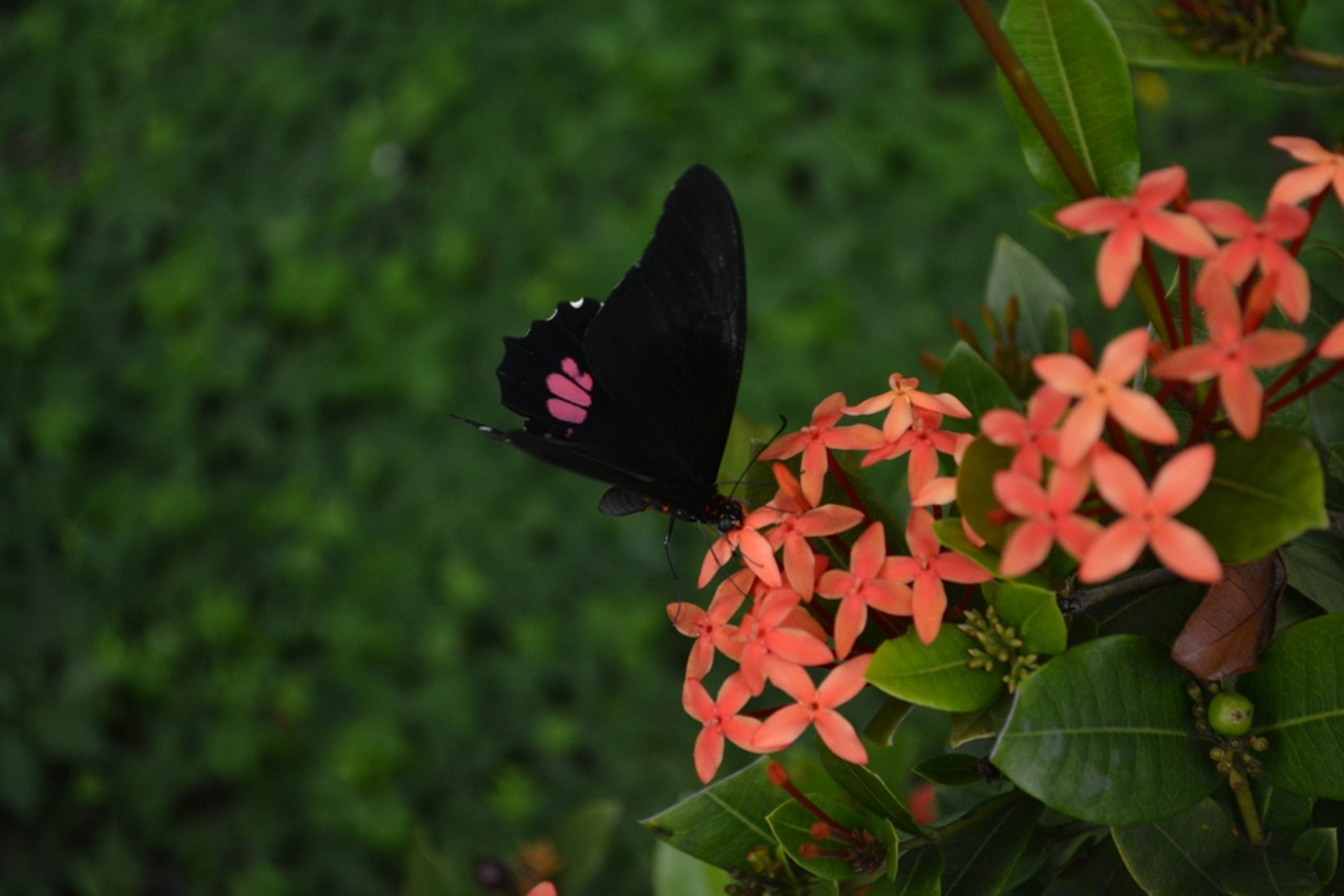 beautiful, butterfly, flower