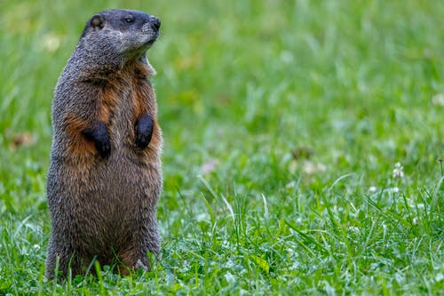 Groundhogs facts