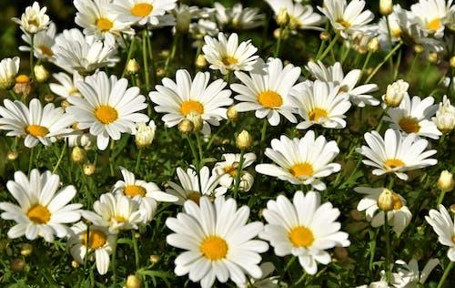 คลังภาพถ่ายฟรี ของ กลางแจ้ง, กลีบดอกไม้, การเจริญเติบโต, กำลังบาน