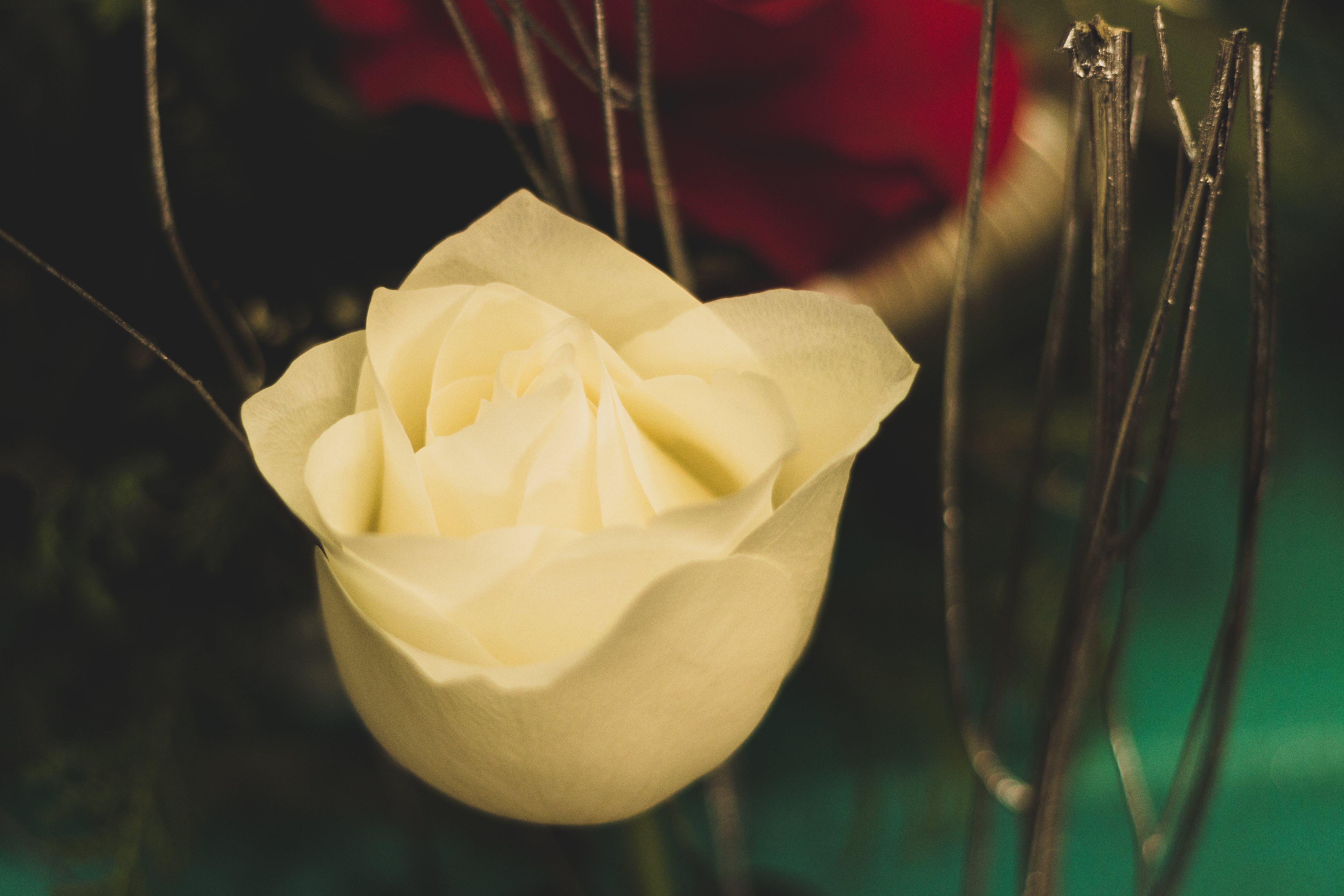 Free stock photo of flower, white rose