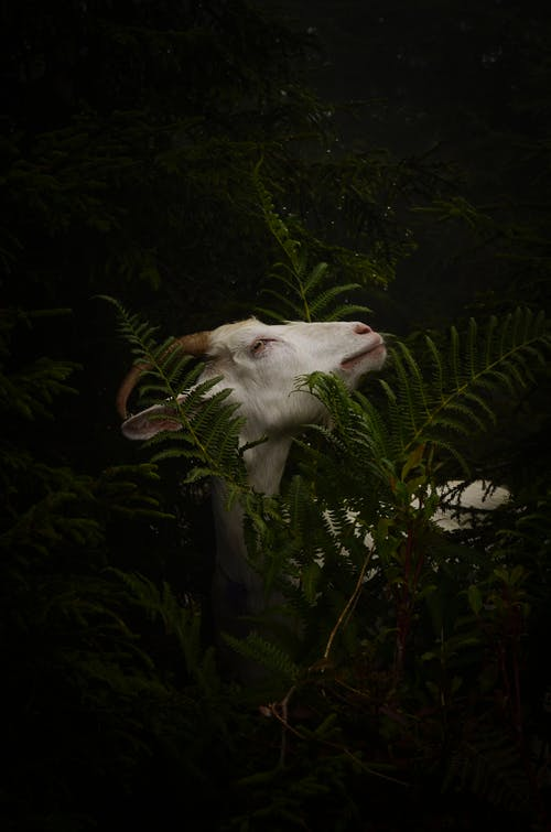 Cute white domestic goat with horns standing near tall lush shrub with green leaves in nature in countryside on summer day