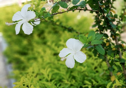 Free stock photo of flower, garden flower, Hibiscus, white