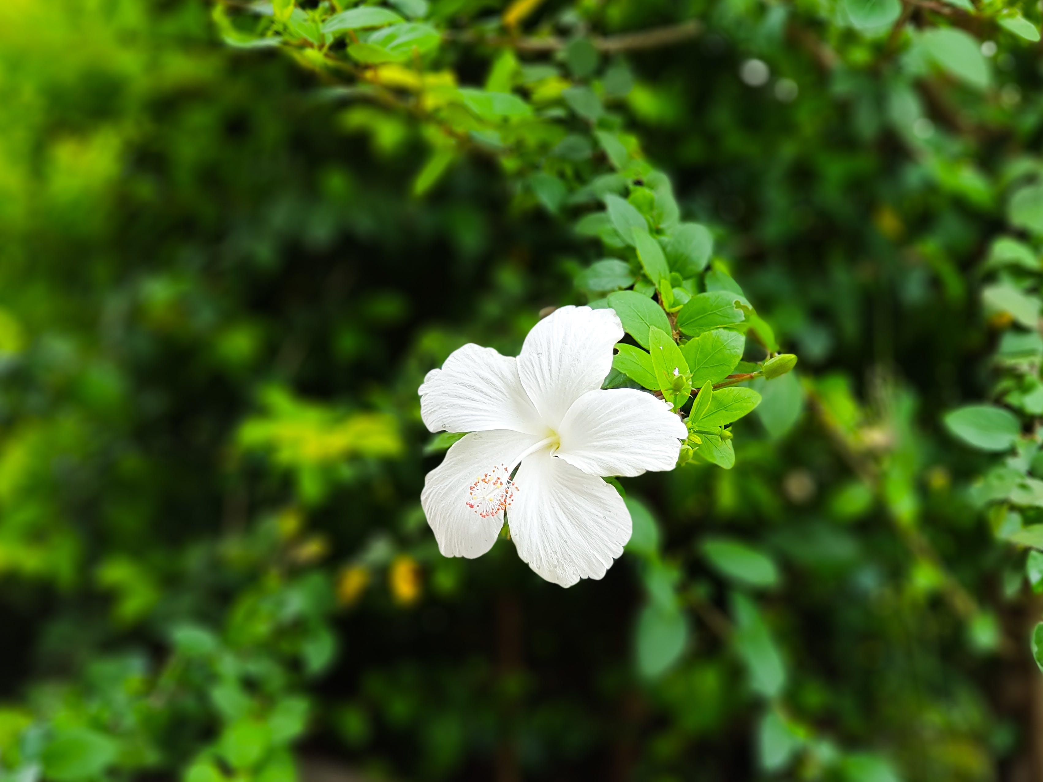 Kostenloses Stock Foto zu blume, gartenblume, hibiskus, weiß