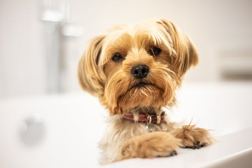 Yorkshire Terrier in Bath