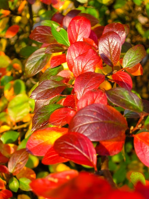 Free stock photo of fall  leaves, plant, red, season