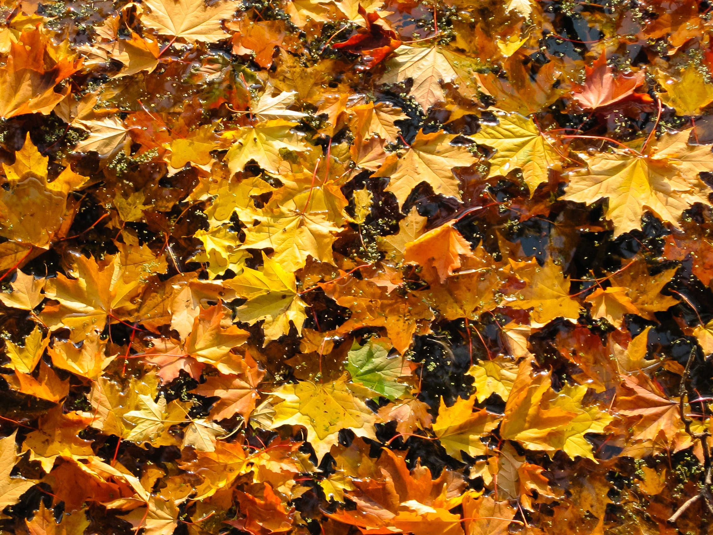 Yellow and Orange Maple Leaves Flat Lay Photograph
