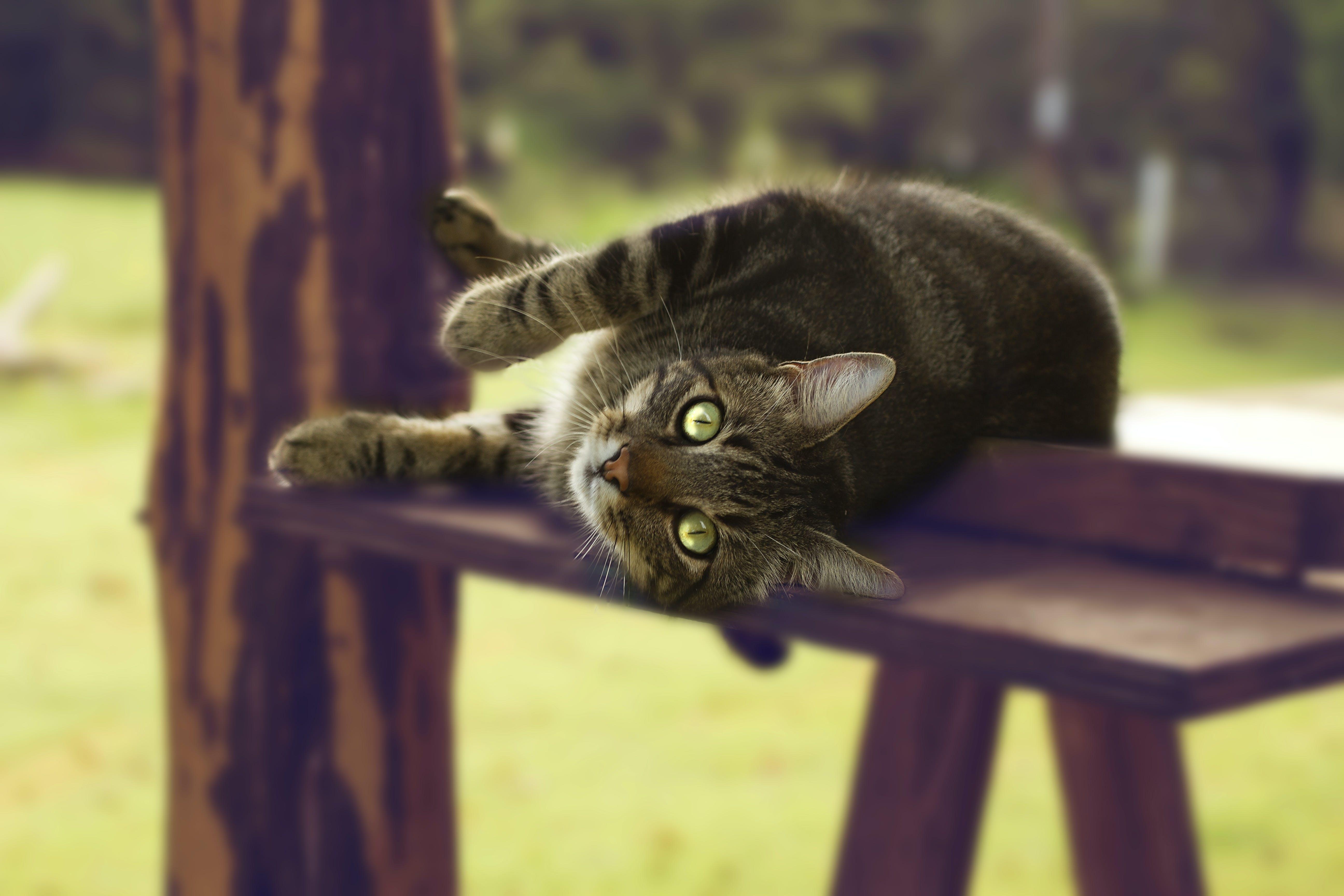 Macro Shot Photography of Tabby Cat