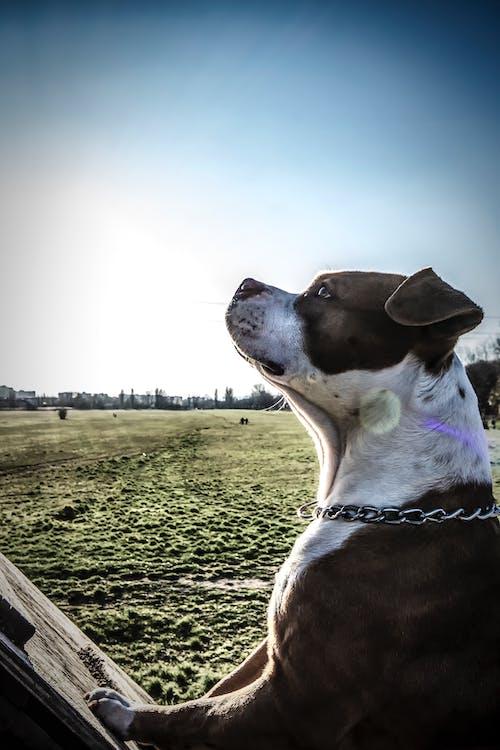 Základová fotografie zdarma na téma americký stafford, domácí mazlíček, hřiště, pes