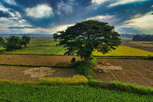 Agricultural cereal field with tall tree in farm