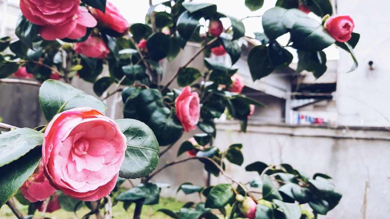 春天, 玫瑰, 花