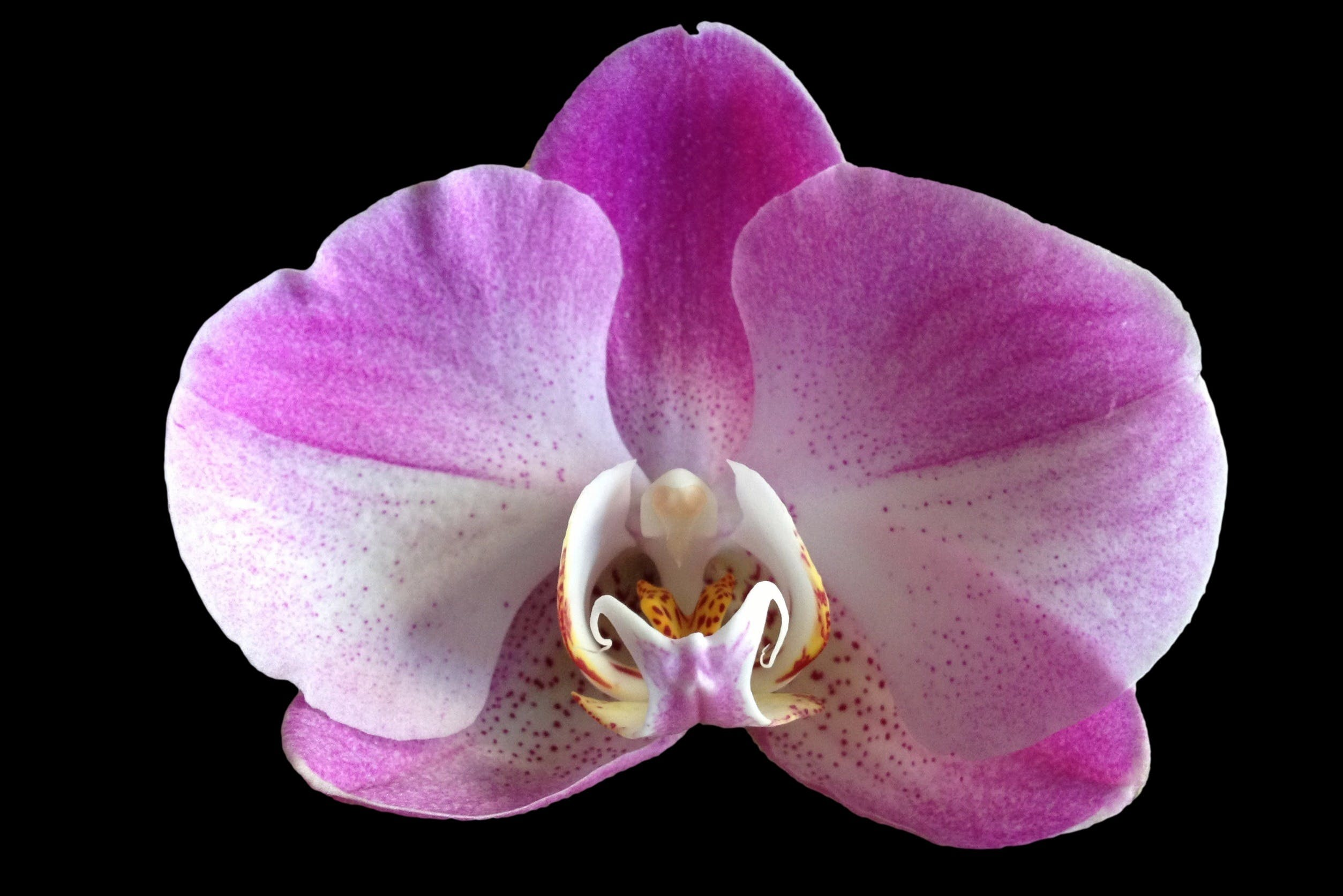 Purple and White Orchid Flower