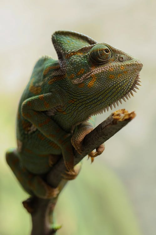 Yellow and Green Coated Lizard