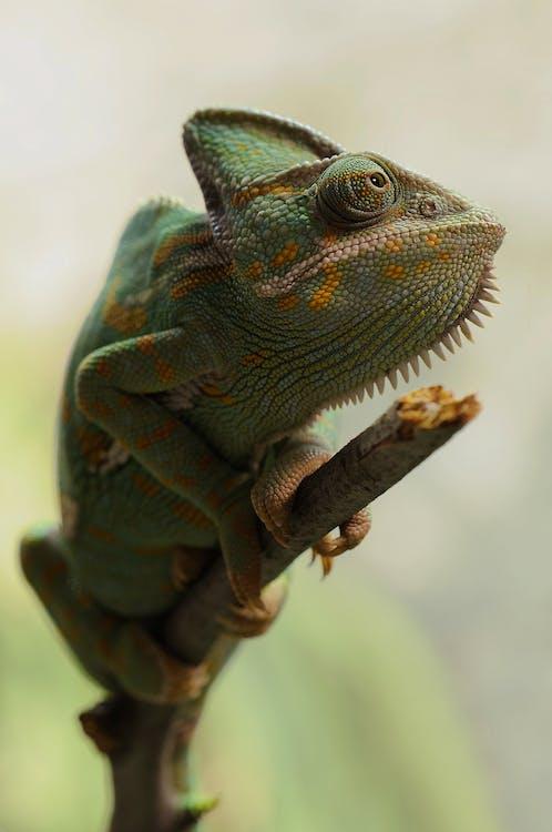 녹색, 도마뱀, 동물