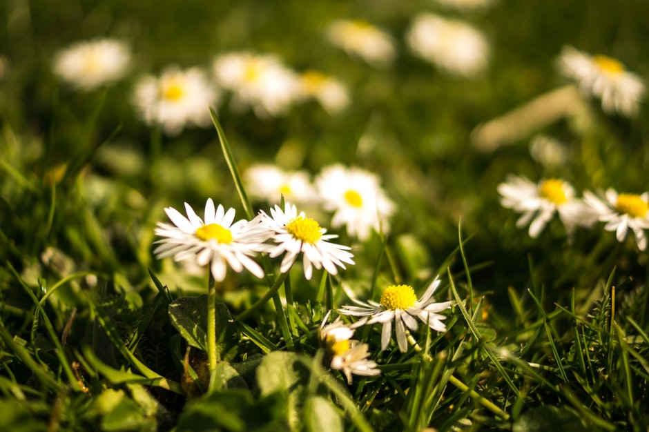 daisies, flora, floral