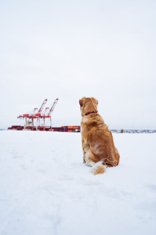 Brown dog resting on snowy land against industrial construction