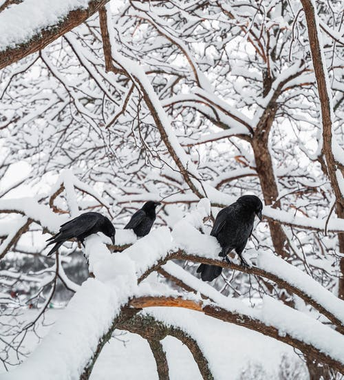 Omnivorous birds with black plumage and pointed beaks sitting on leafless tree twigs in winter