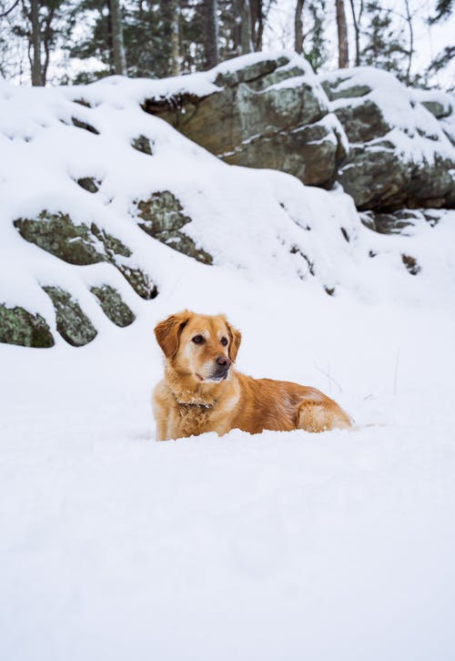 Golden Retriever resting on snow against boulders in wintertime
