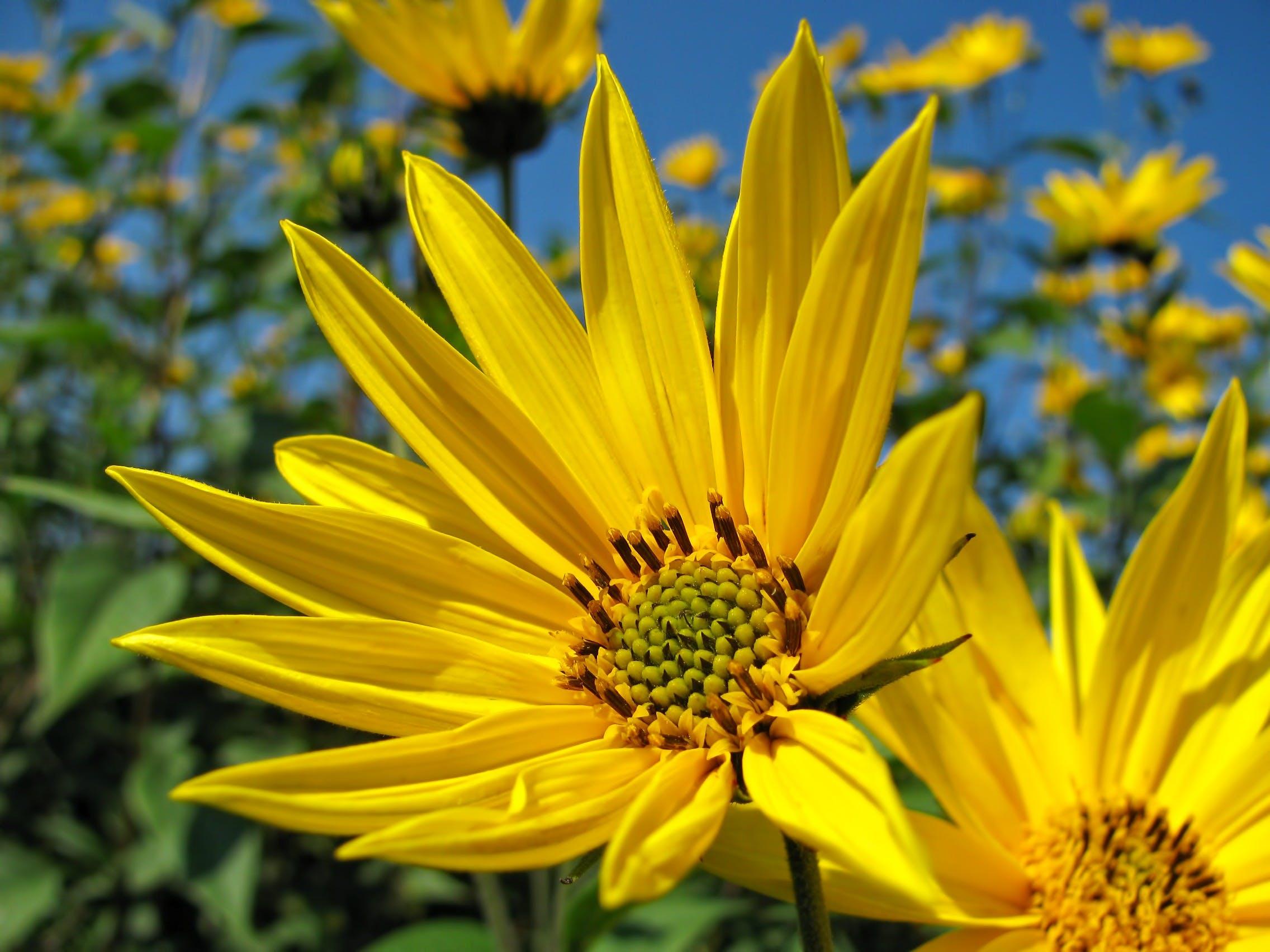 Free stock photo of nature, blue, summer, yellow