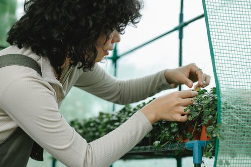 Side view of crop female gardener with curly hair inspecting potted seedlings growing in greenhouse