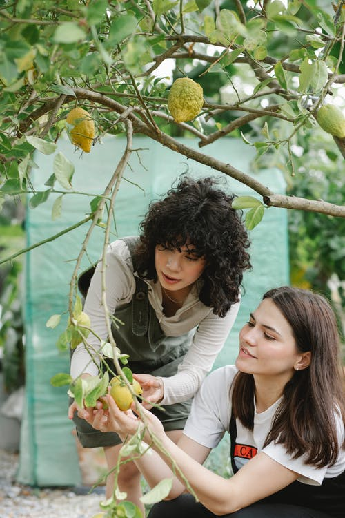 Multiethnic women picking ripe lemons together from tree branches growing in lush garden