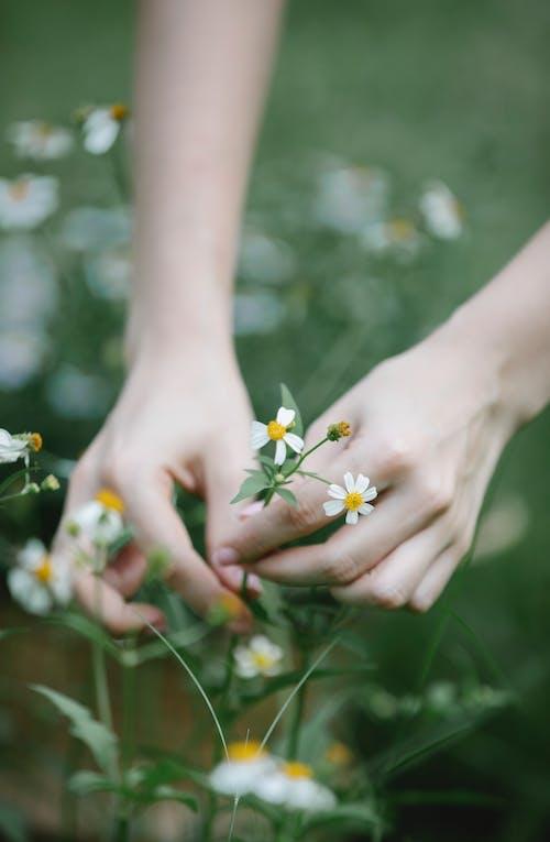 Person, Die Weiße Und Gelbe Blumen Hält