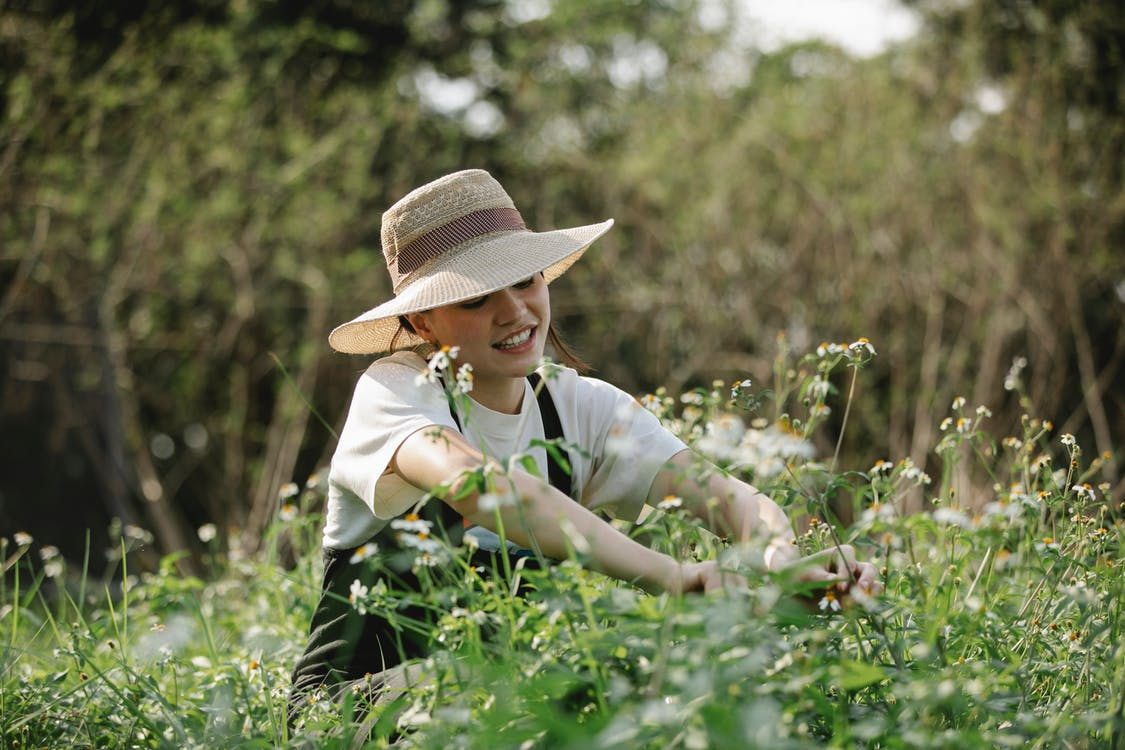 Concentrated female gardener trimming fresh chamomile with instrument while caring of flowers in park