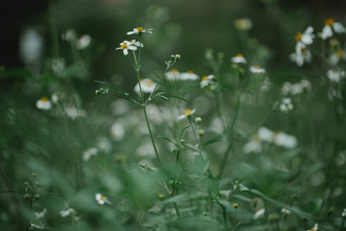 Blooming white daisy flowers growing on green grassy meadow in summer day in countryside
