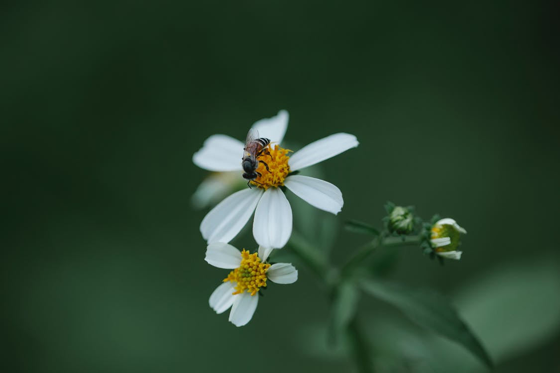Small hoverfly on daisy flower in meadow in nature