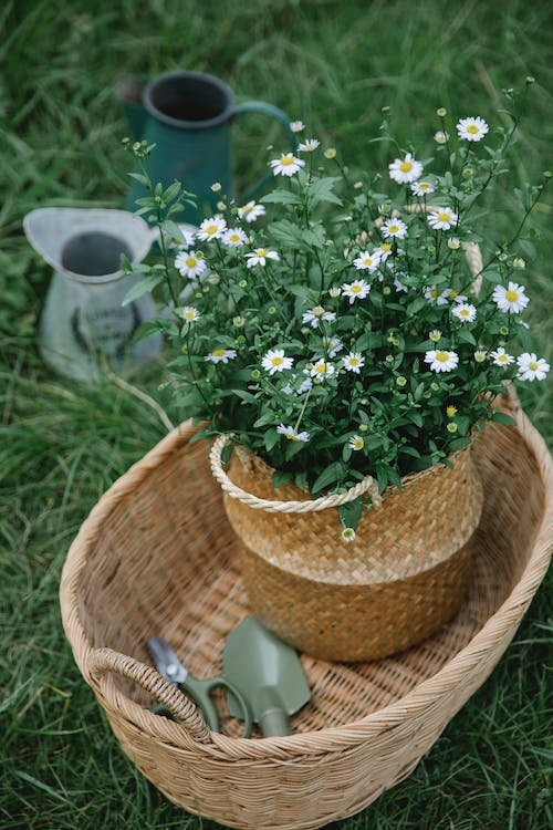Basket with chamomiles and garden tools near pots in countryside
