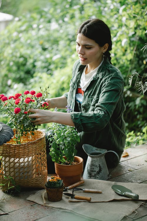 Focused woman taking care of potted roses
