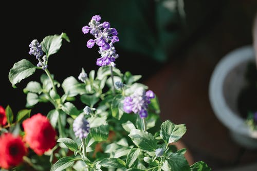 High angle of fresh fragrant blooms of salvia and rose cultivating in greenhouse in sunny day