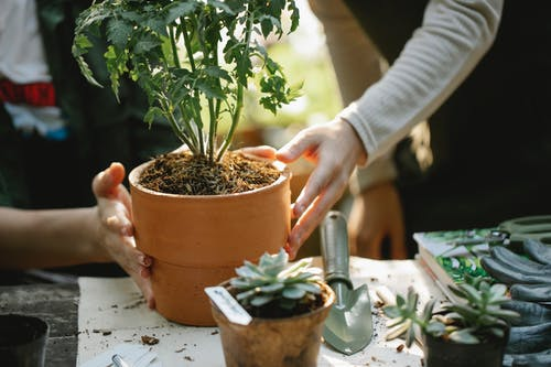 Crop anonymous female colleagues cultivating green plants in pots at table with spade in garden
