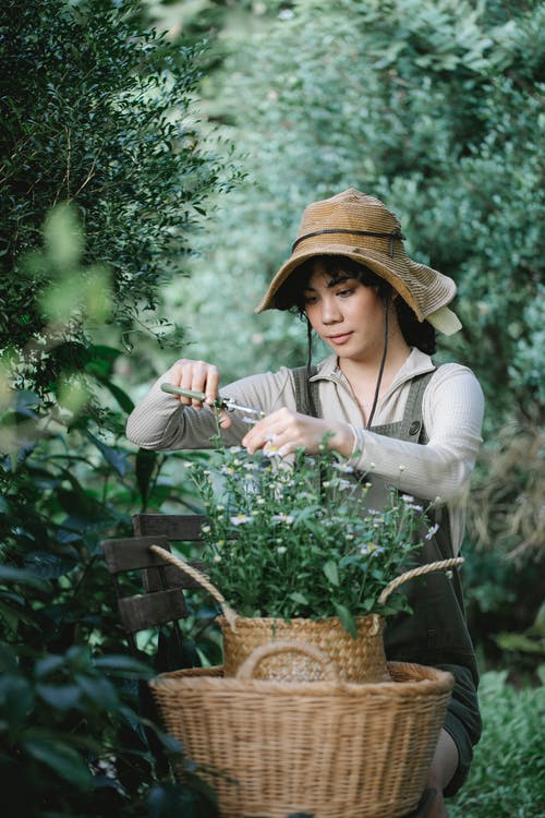 Focused ethnic female gardener with scissors sitting on bench in lush garden and cutting twigs of chamomiles in wicker basket