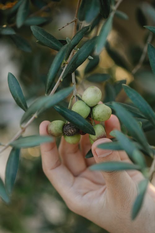 Crop anonymous farmer showing bundle of olives on tree with long leaves on plantation