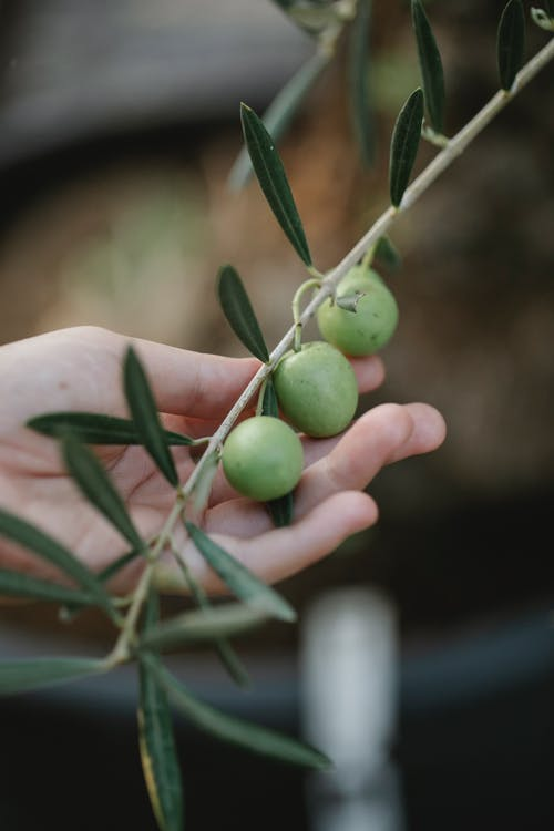 Crop unrecognizable gardener showing olive tree fruits on thin stems on farm in daylight