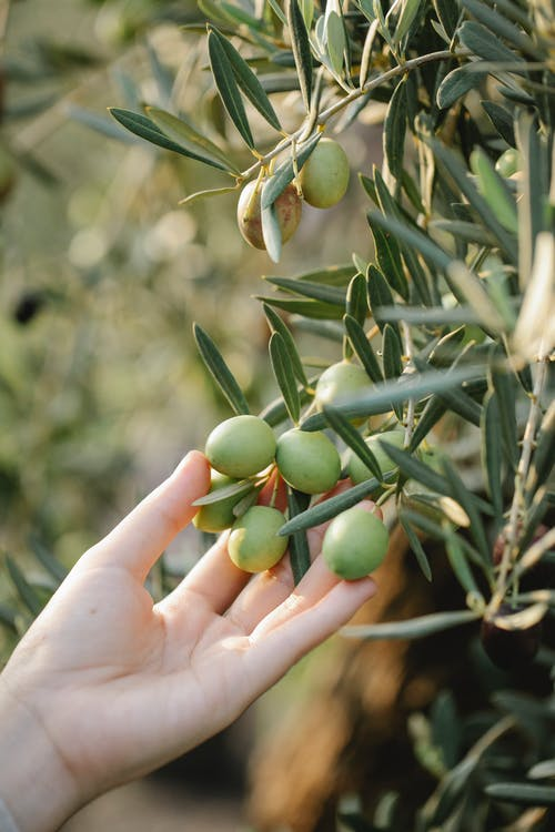 Crop anonymous grower touching green olive fruits on tree with long leaves on farm in sunlight